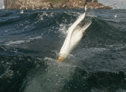 gannet-bass-rock-513-copyright-photographers-on-safari-com