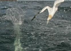 gannet-bass-rock-514-copyright-photographers-on-safari-com