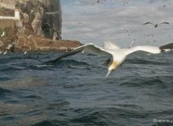gannet-bass-rock-515-copyright-photographers-on-safari-com