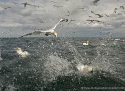 gannet-bass-rock-516-copyright-photographers-on-safari-com