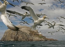 gannet-bass-rock-519-copyright-photographers-on-safari-com