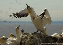 gannet-bass-rock-528-copyright-photographers-on-safari-com