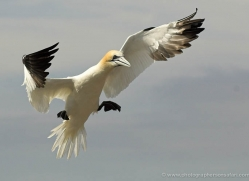 gannet-bass-rock-529-copyright-photographers-on-safari-com