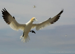 gannet-bass-rock-530-copyright-photographers-on-safari-com