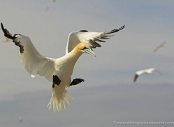 gannet-bass-rock-531-copyright-photographers-on-safari-com