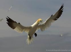 gannet-bass-rock-532-copyright-photographers-on-safari-com