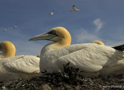 gannet-bass-rock-533-copyright-photographers-on-safari-com