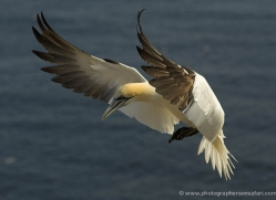 gannet-bass-rock-535-copyright-photographers-on-safari-com