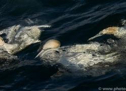 gannet-bass-rock-copyright-photographers-on-safari-com-8183