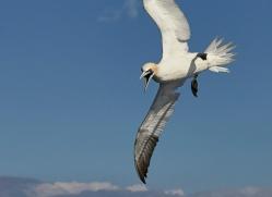 gannet-bass-rock-copyright-photographers-on-safari-com-8185