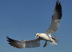 gannet-bass-rock-copyright-photographers-on-safari-com-8187