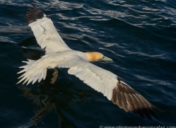 gannet-bass-rock-copyright-photographers-on-safari-com-8188
