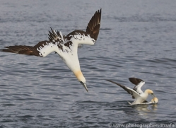 gannet-bass-rock-copyright-photographers-on-safari-com-8190