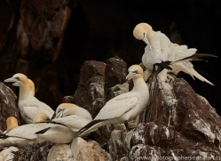 gannet-bass-rock-copyright-photographers-on-safari-com-8194