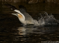 gannet-bass-rock-copyright-photographers-on-safari-com-8195