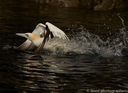 gannet-bass-rock-copyright-photographers-on-safari-com-8196