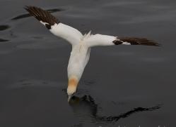 gannet-bass-rock-copyright-photographers-on-safari-com-8203