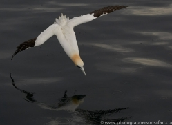 gannet-bass-rock-copyright-photographers-on-safari-com-8206