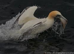 gannet-bass-rock-copyright-photographers-on-safari-com-8211