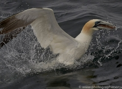 gannet-bass-rock-copyright-photographers-on-safari-com-8212