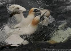 gannet-bass-rock-copyright-photographers-on-safari-com-8218