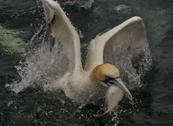 gannet-bass-rock-copyright-photographers-on-safari-com-8219