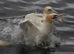gannet-bass-rock-copyright-photographers-on-safari-com-8221