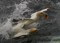 gannet-bass-rock-copyright-photographers-on-safari-com-8223