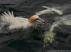 gannet-bass-rock-copyright-photographers-on-safari-com-8225
