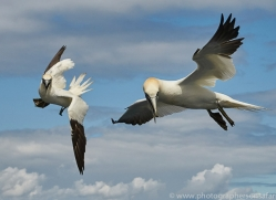 gannet-bass-rock-copyright-photographers-on-safari-com-8228