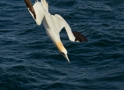 gannet-bass-rock-copyright-photographers-on-safari-com-8229