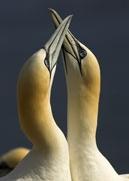 gannets-lhs1