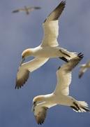 gannets-lhs2