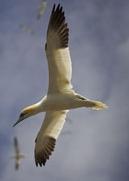 gannets-lhs3
