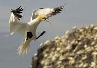 gannets-rhs2