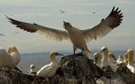 gannets-rhs3