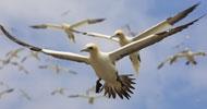 gannets-rhs4
