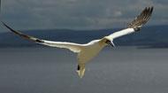 gannets-rhs5