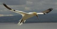 gannets-rhs6