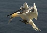 gannets-rhs7