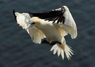 gannets-rhs9