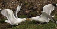 gulls-rhs1