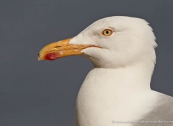 herring-gull-346-copyright-photographers-on-safari-com