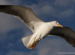 herring-gull-347-copyright-photographers-on-safari-com