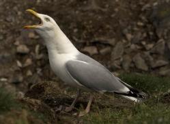 herring-gull-348-copyright-photographers-on-safari-com