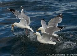 herring-gull-bass-rock-copyright-photographers-on-safari-com-8230