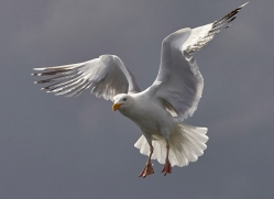 herring-gull-bass-rock-copyright-photographers-on-safari-com-8231
