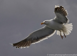 herring-gull-bass-rock-copyright-photographers-on-safari-com-8232