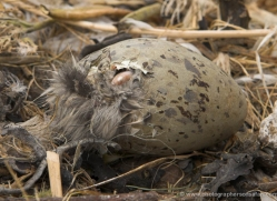 herring-gull-chick-hatching-from-egg342-copyright-photographers-on-safari-com