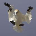 lt1-gannet